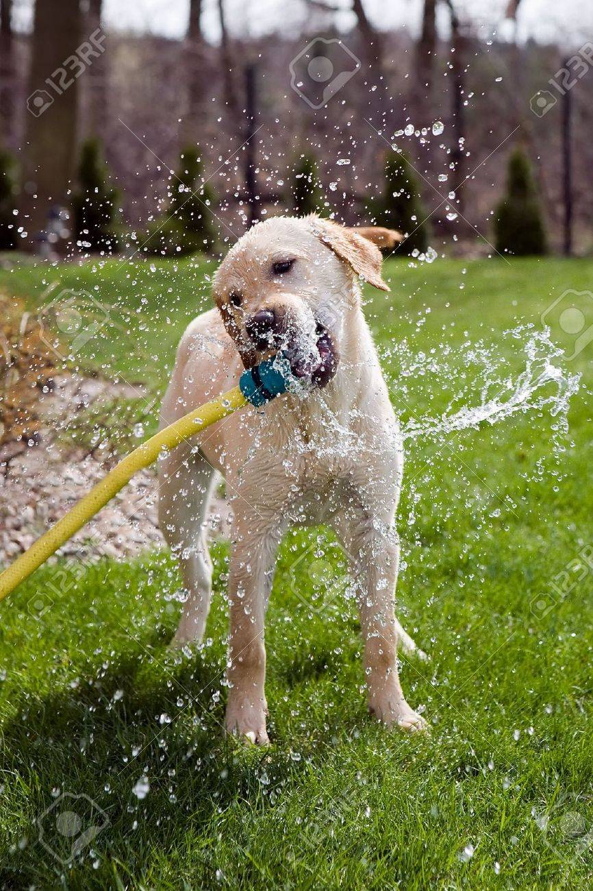 A Dog Drinking Water Straight From A Garden Hose Stock Photo ...