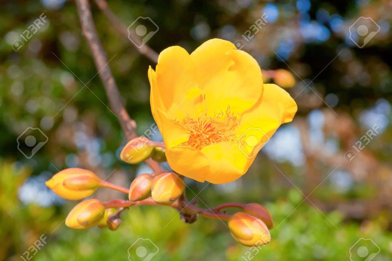 Belle Fleur Jaune Arbre A L Ile Maurice Banque D Images Et Photos
