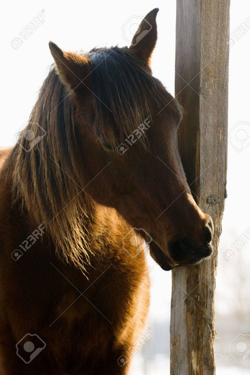 Brown horse Stock Photo - 21484411
