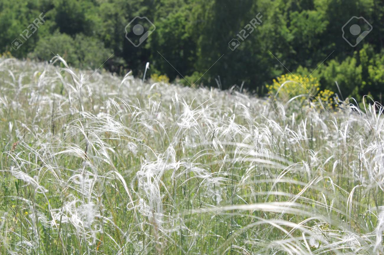 Feather grass on meadow - 29787759