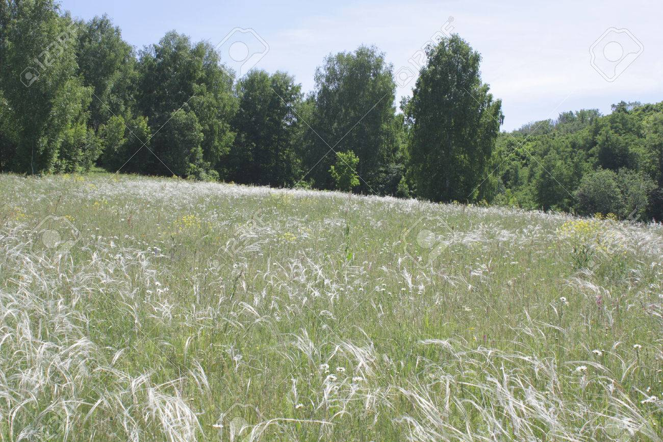Feather grass on meadow in summer forest - 29787760