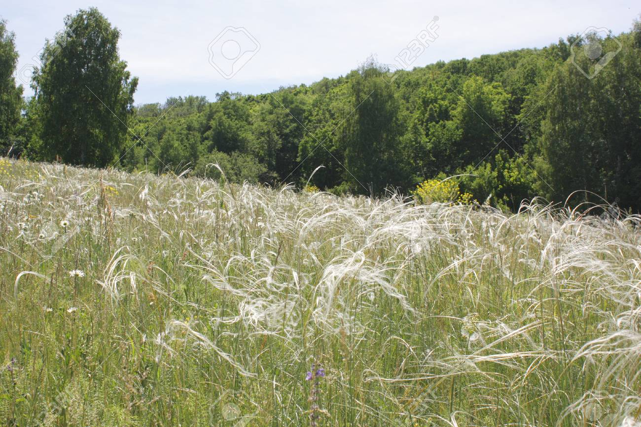 Feather grass on meadow - 29788438