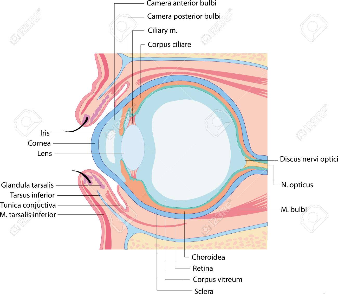 Anatomy Eye Royalty Free Cliparts, Vectors, And Stock Illustration ...
