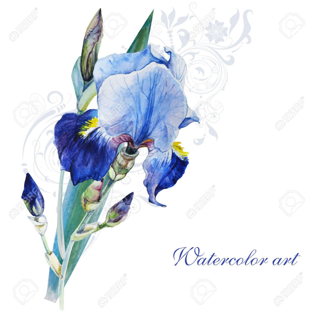 Blue iris watercolor painting on white background handmade royalty blue iris watercolor painting on white background handmade stock vector 57401802 izmirmasajfo