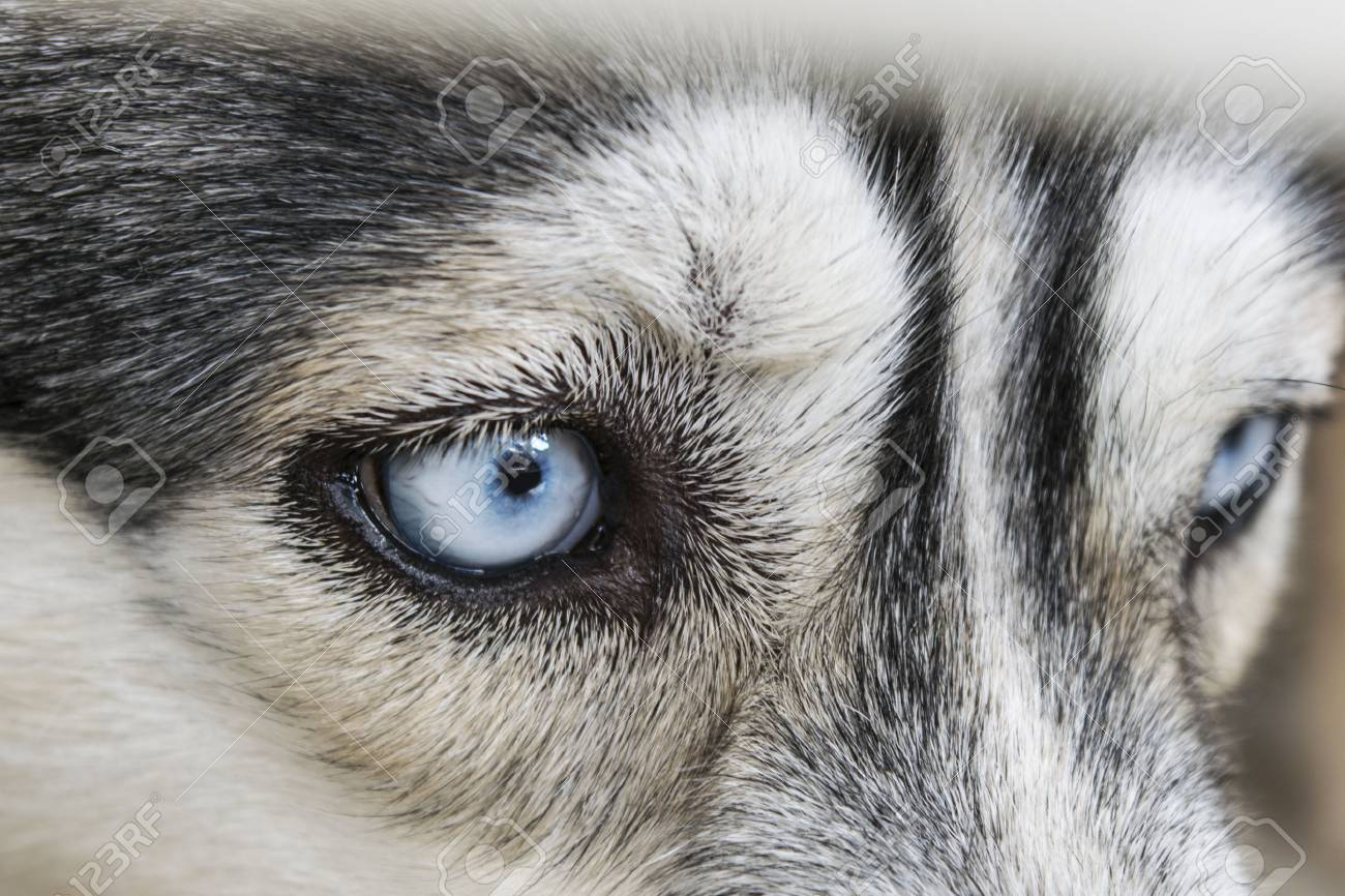 Close Up On Blue Eyes Of A Siberian Husky Dog Stock Photo Picture