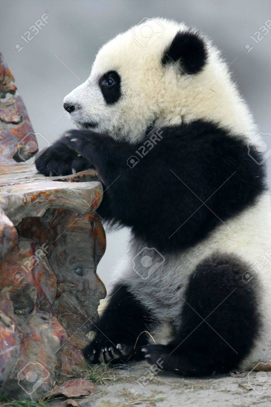 Panda Bear Stock Photo - 2577421