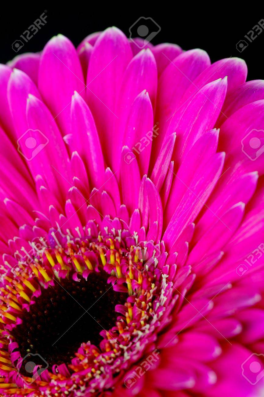 Pink Gerbera Stock Photo - 3082132