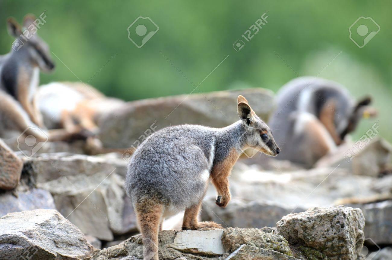 オーストラリア岩ワラビーのショ...
