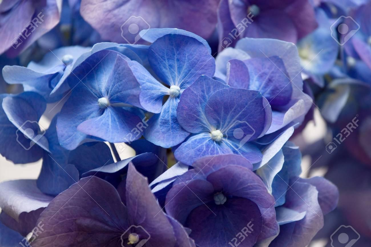 Background with blue hydrangea Stock Photo - 7165768