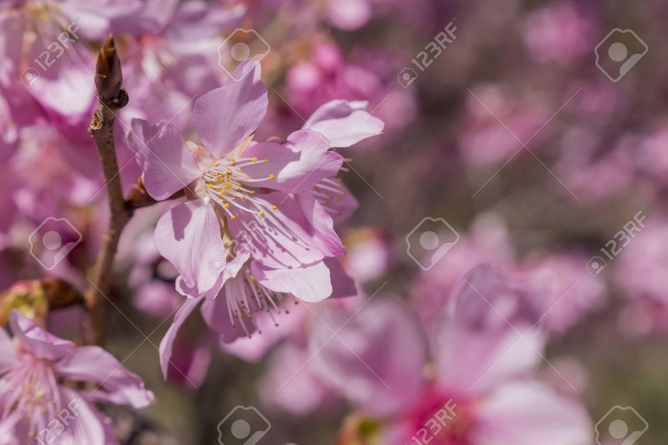 Super beautiful pink sakura flowers cherry blossom in taiwan stock super beautiful pink sakura flowers cherry blossom in taiwan stock photo 46557292 dhlflorist Images