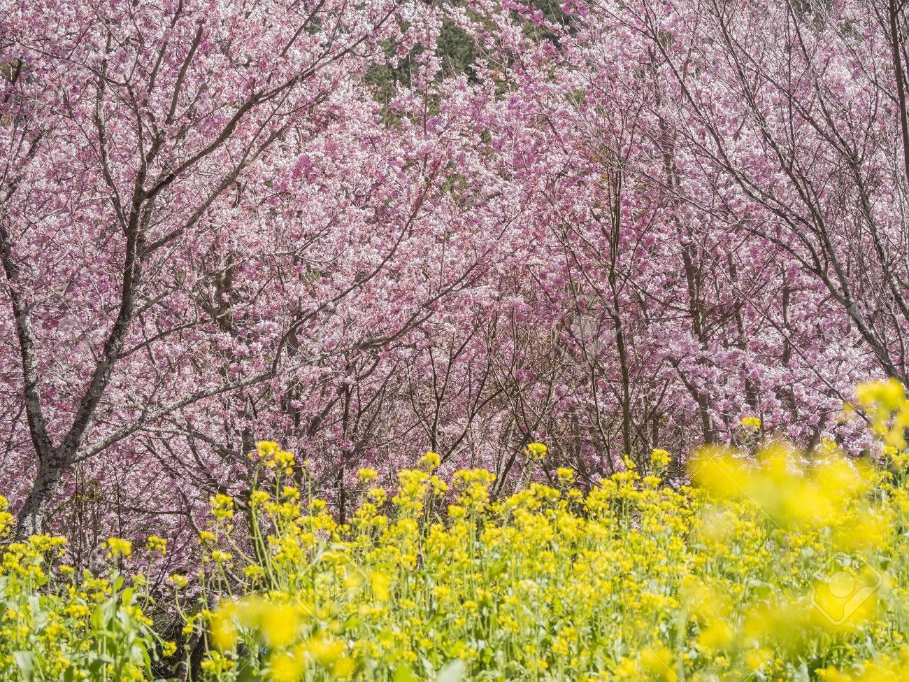 Super Beautiful Pink Sakura Flowers Cherry Blossom In Taiwan Stock