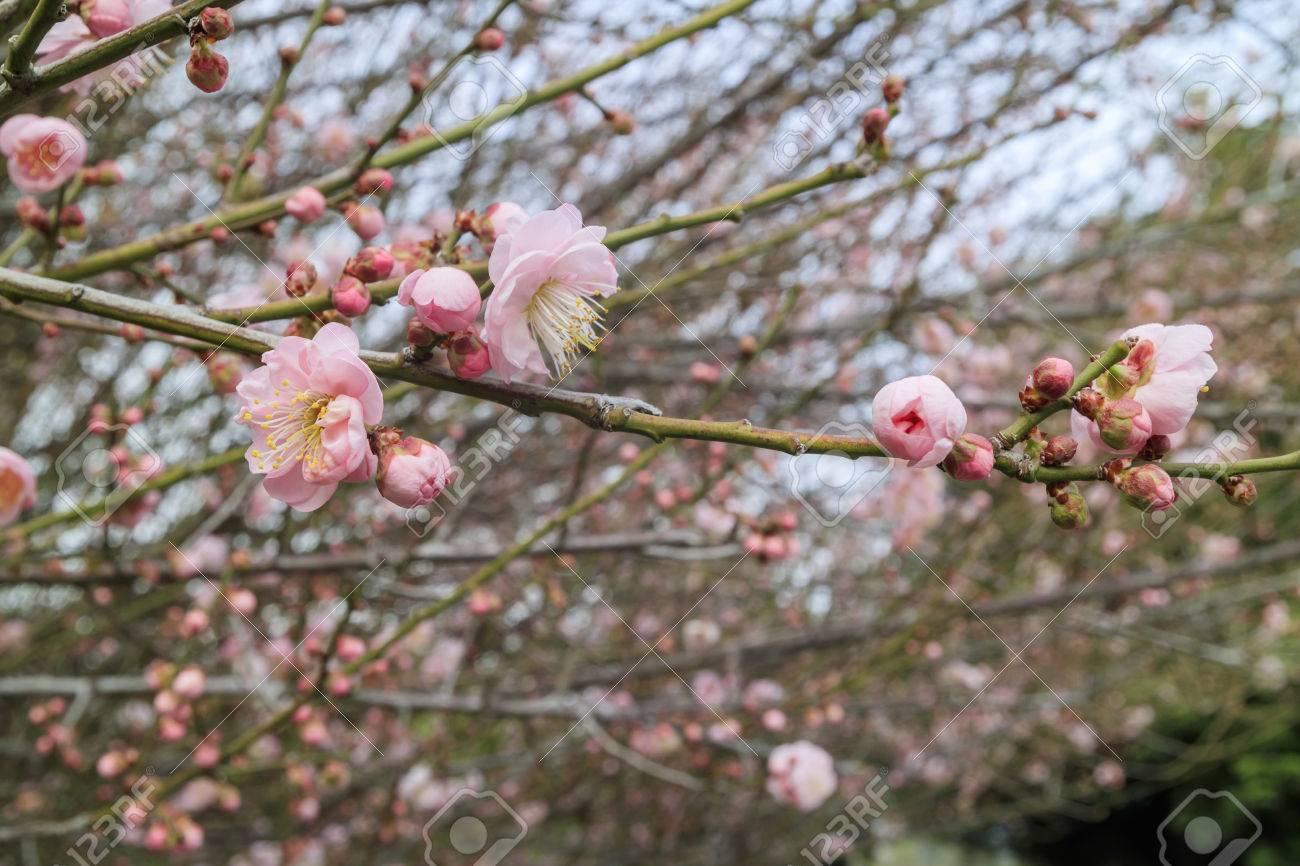 Plum Flower Blossom At Los Angeles County Arboretum U0026 Botanic Garden Stock  Photo   51105648