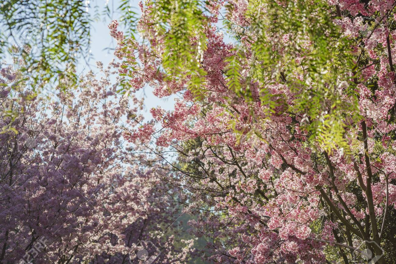 cherry blossom at Schabarum Regional Park, Rowland Heights, Los