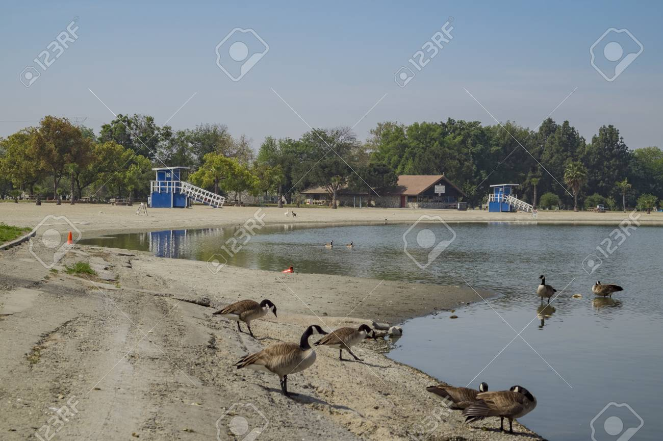 Dosemitc Geese Around The Beach Of Santa Fe Dam Recreation Area Stock Photo Picture And Royalty Free Image Image 74667033