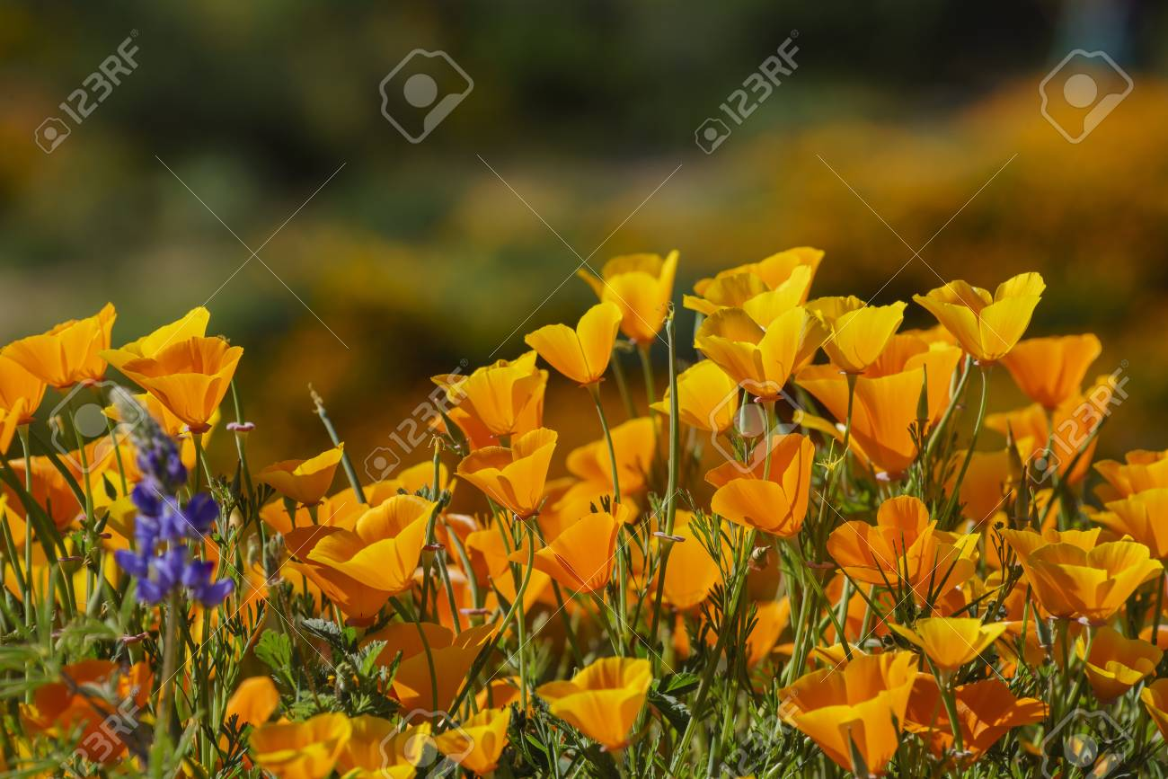 Lots Of Wild Flower Blossom Perennial Lupine And Poppy Flowers