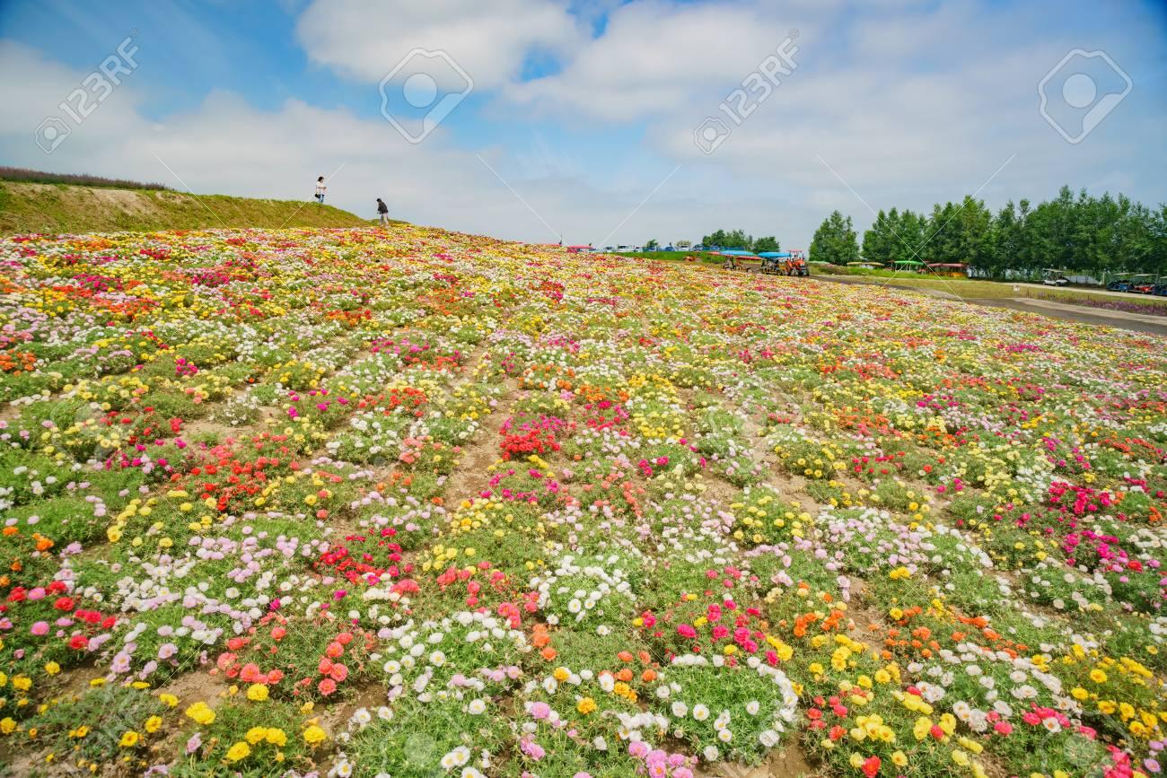The Famous And Beautiful Panoramic Flower Gardens Shikisai No Oka