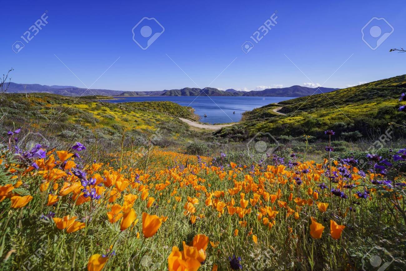 Lots of wild flower blossom at Diamond Valley Lake, California - 120243843
