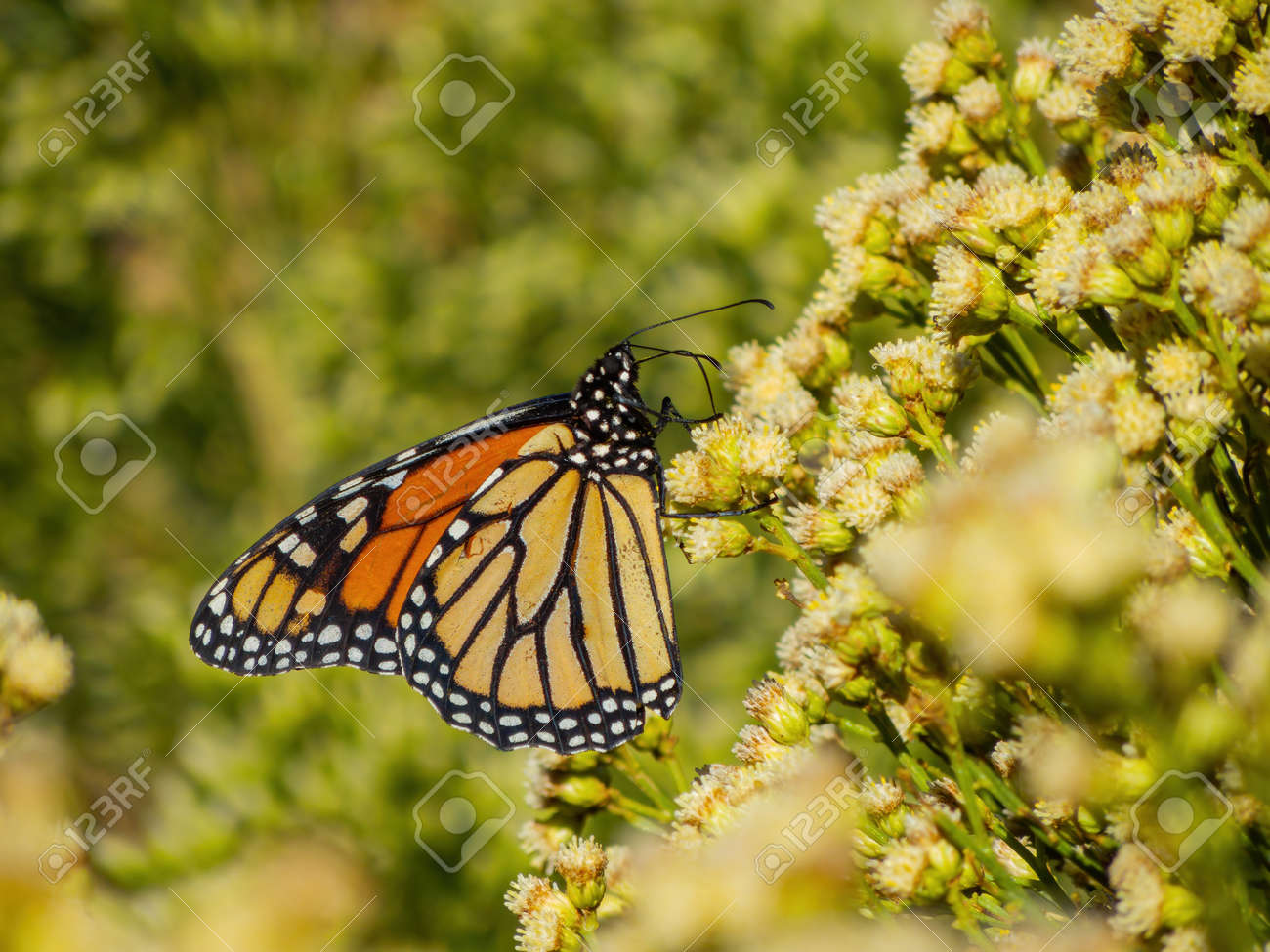 Close up shot of the beautiful monarch butterfly at Las Vegas, Nevada - 158946240