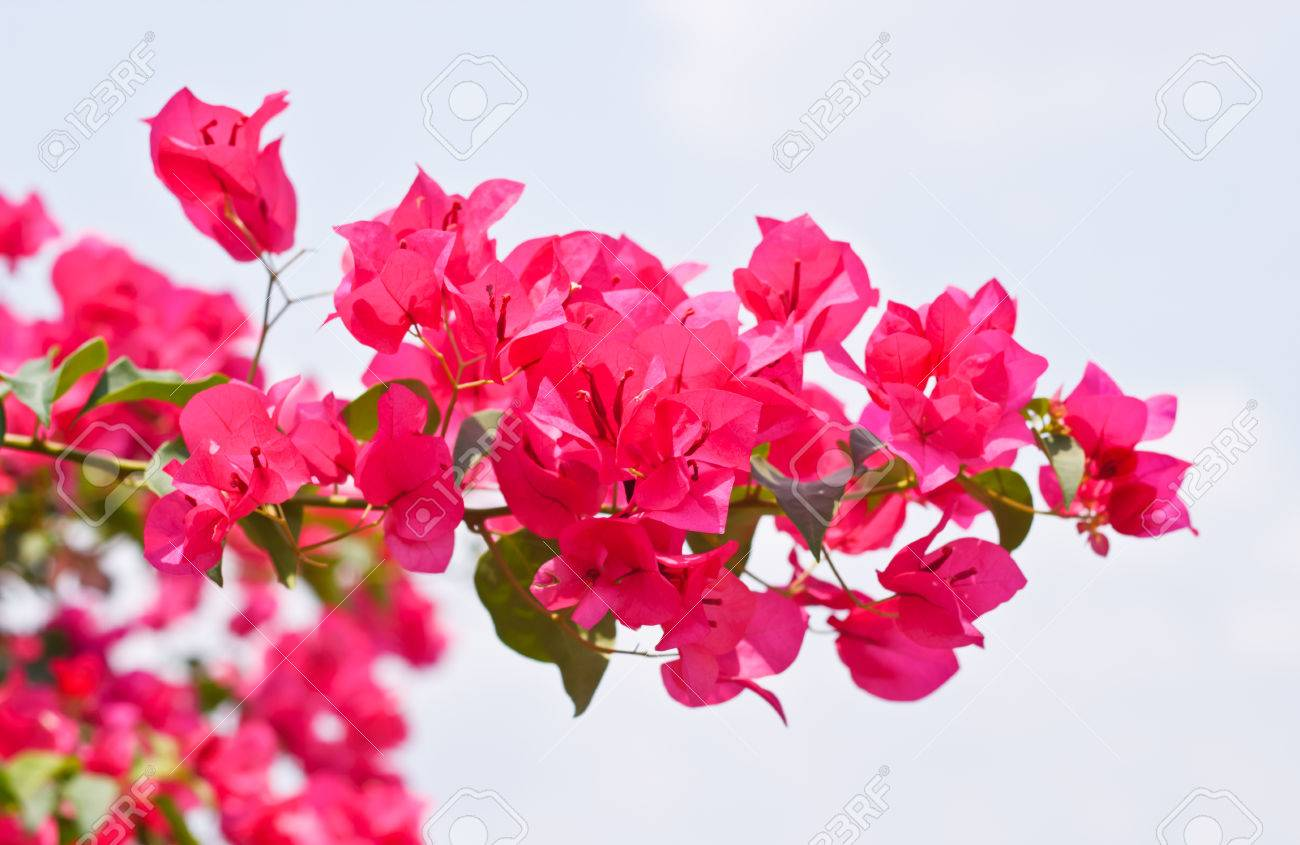 Pink Bougainvillea Glabra Choisy Flower With Leaves Beautiful Paper