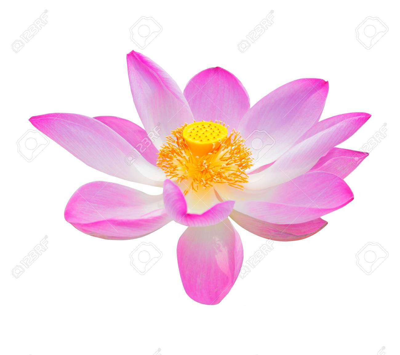 Beautiful Lotus Flower Isolated On White Background Stock Photo