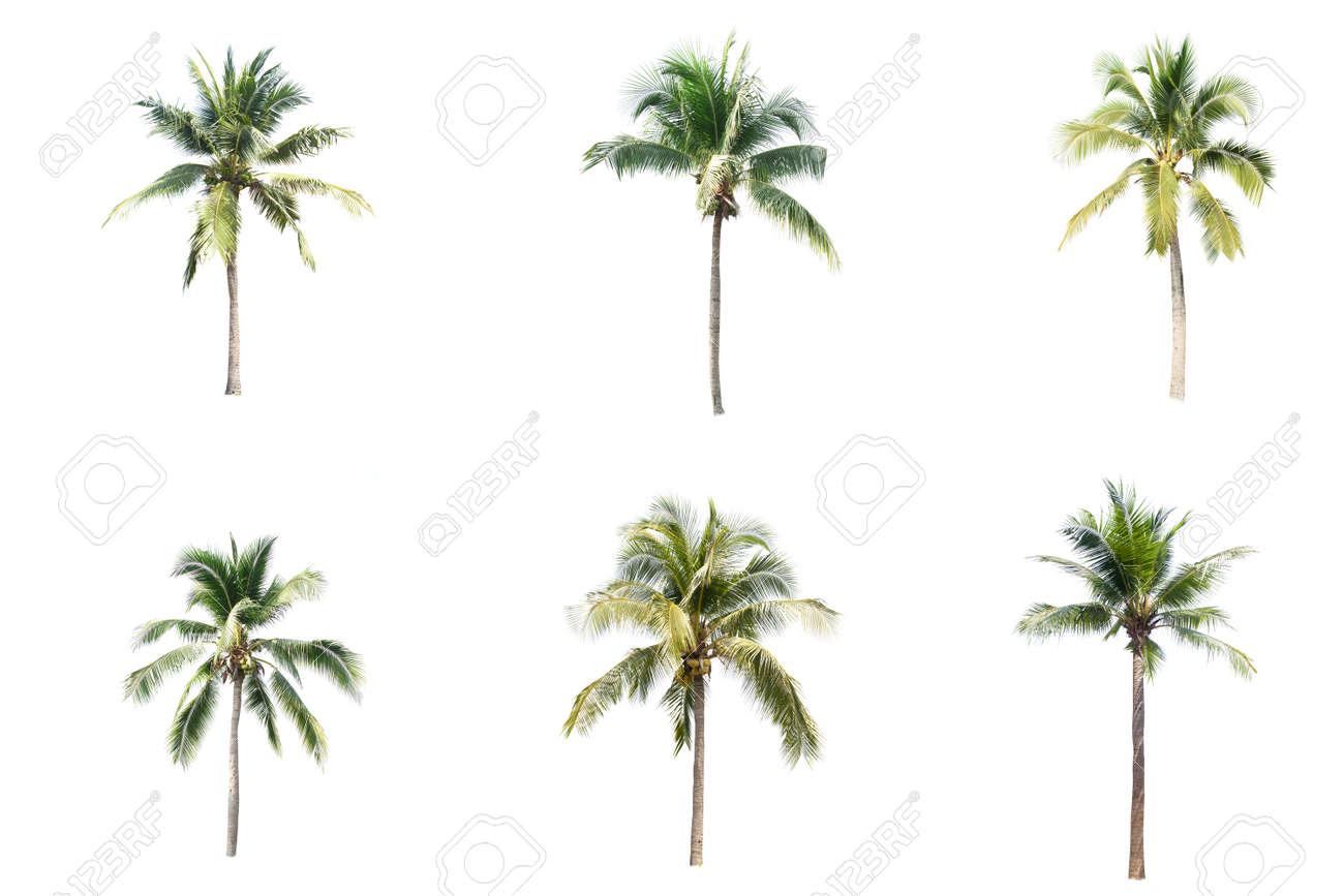 Palm tree or Coconut tree ,a green leaf isolation for summer background ,relax and vacation holiday summer concept - 166182548