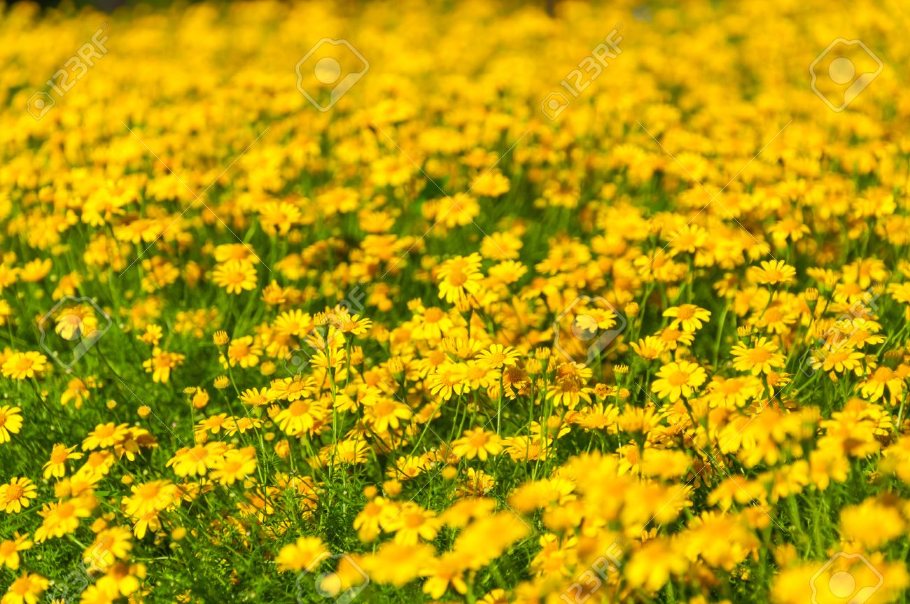 Field Of Beautiful Yellow Daisies Flowers Stock Photo Picture And