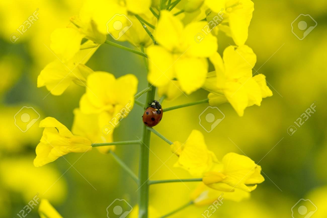 A ladybug on a canola flower - 122266378