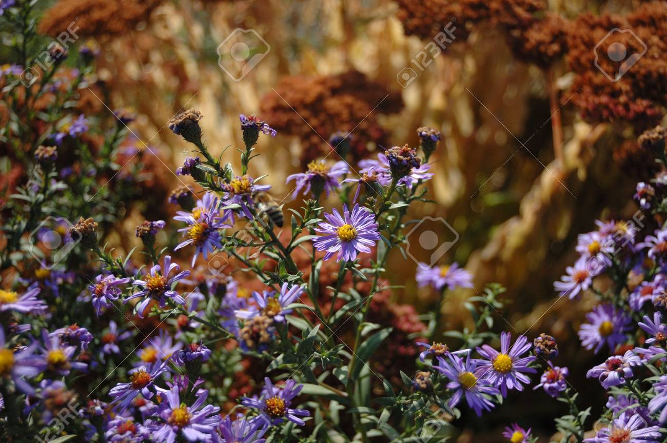Many blue flowers such as chrysanthemums in the fall stock photo many blue flowers such as chrysanthemums in the fall stock photo 52332733 izmirmasajfo