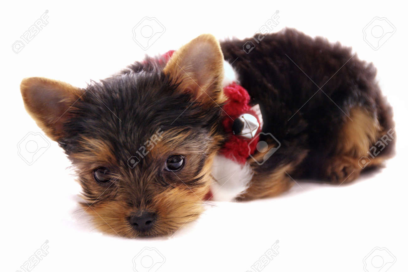 cute little  Yorkshire Terrier with red and white Christmas necklace - puppy on isolated white background Stock Photo - 601566