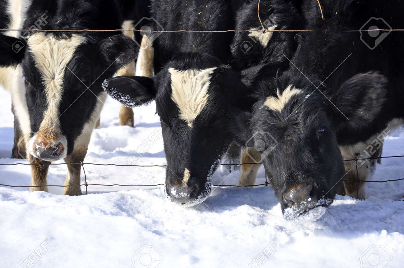 three cows with their heads coming through a wire fence Stock Photo - 5189436