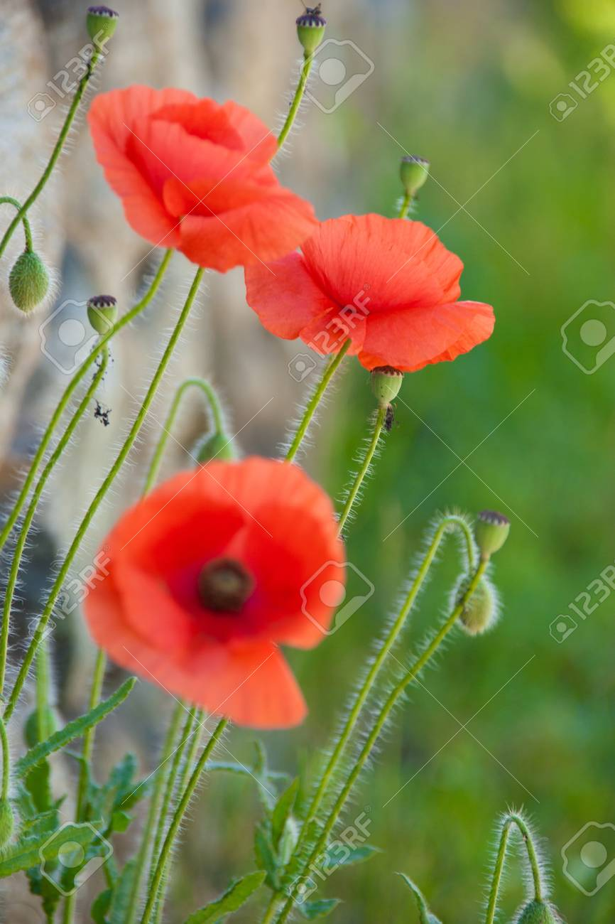 Red poppy in a field of grass Stock Photo - 18953616