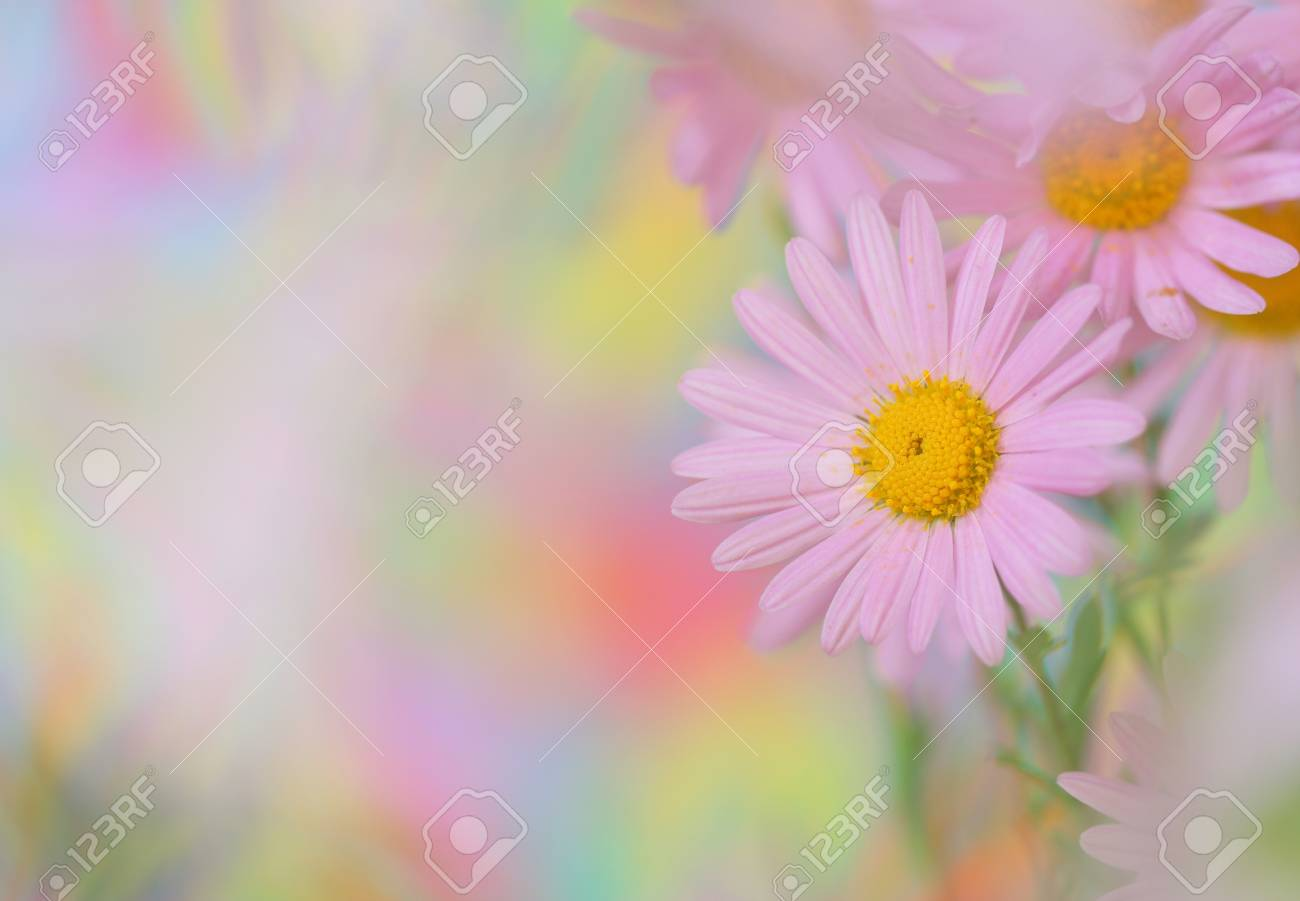 Close-up of pink chamomile Stock Photo - 11181707
