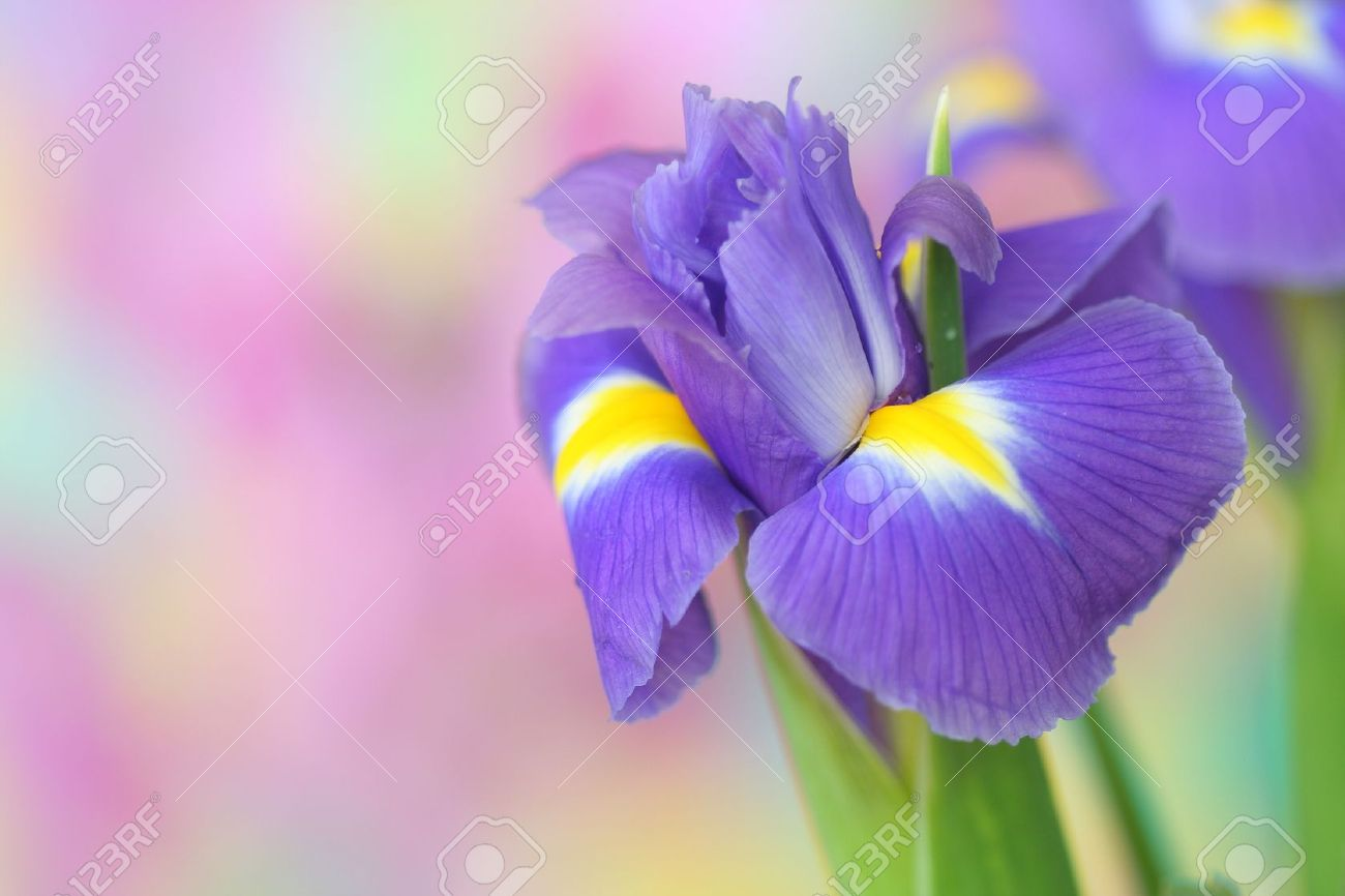 closeup of iris flower stock photo, picture and royalty free, Beautiful flower