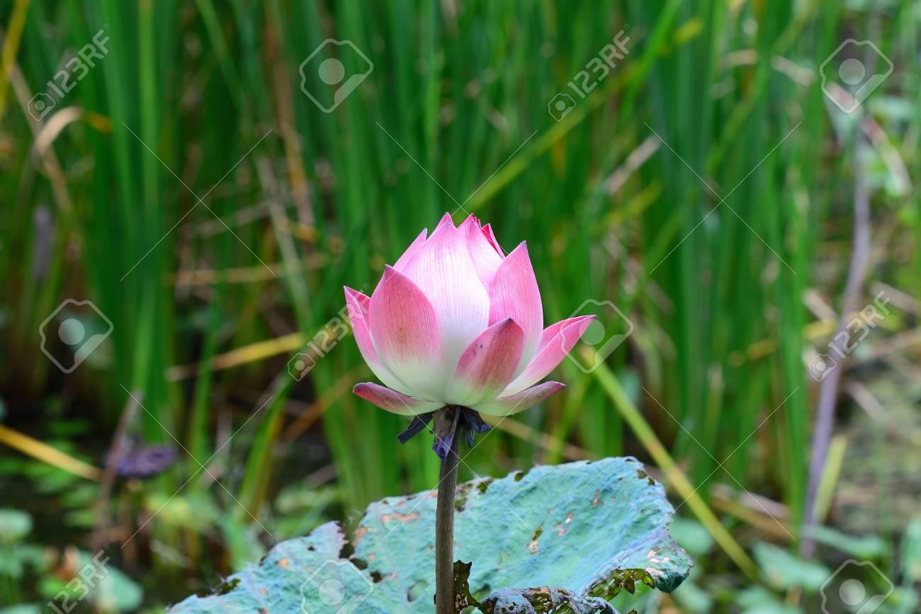 Pink lotus Stock Photo - 14823559