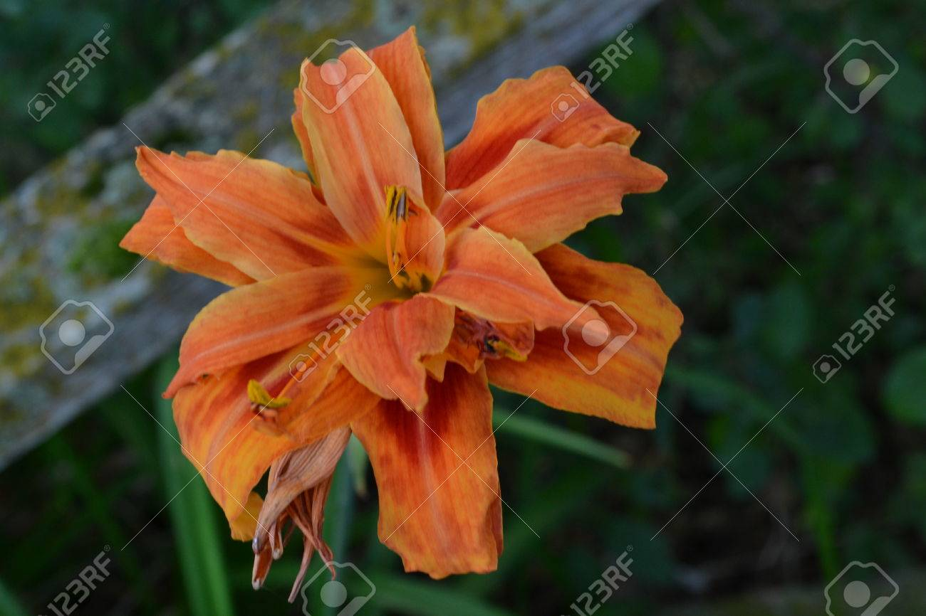 Double day lily flower stock photo picture and royalty free image double day lily flower stock photo 44256341 izmirmasajfo