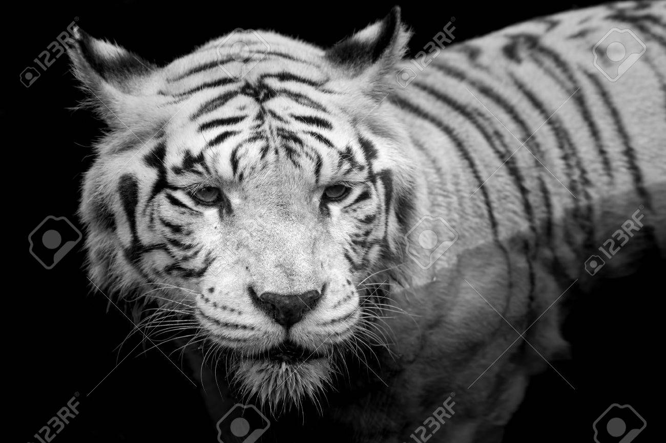 black and white portrait of a white tiger stock photo, picture and