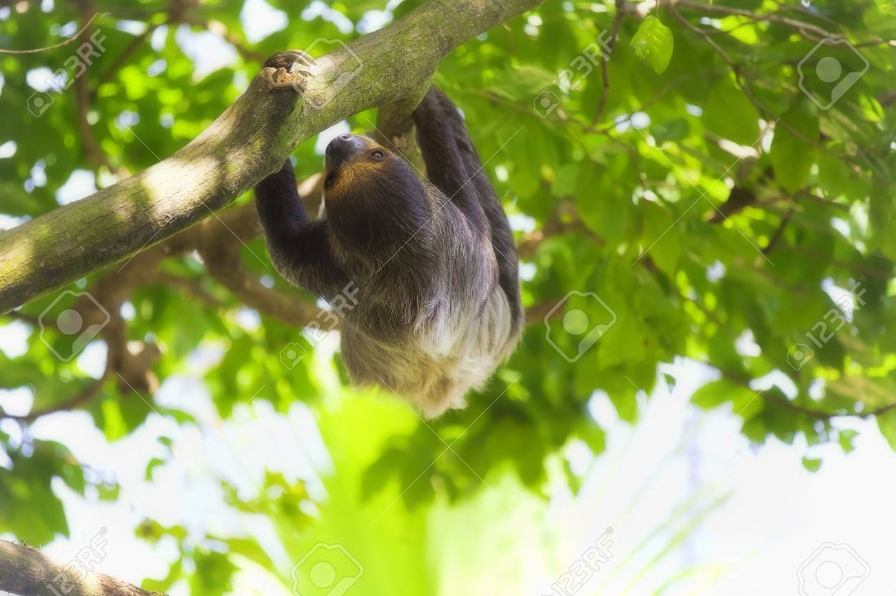 A Two Toed Sloth Climbing Down The Tree In Manuel Antonio National