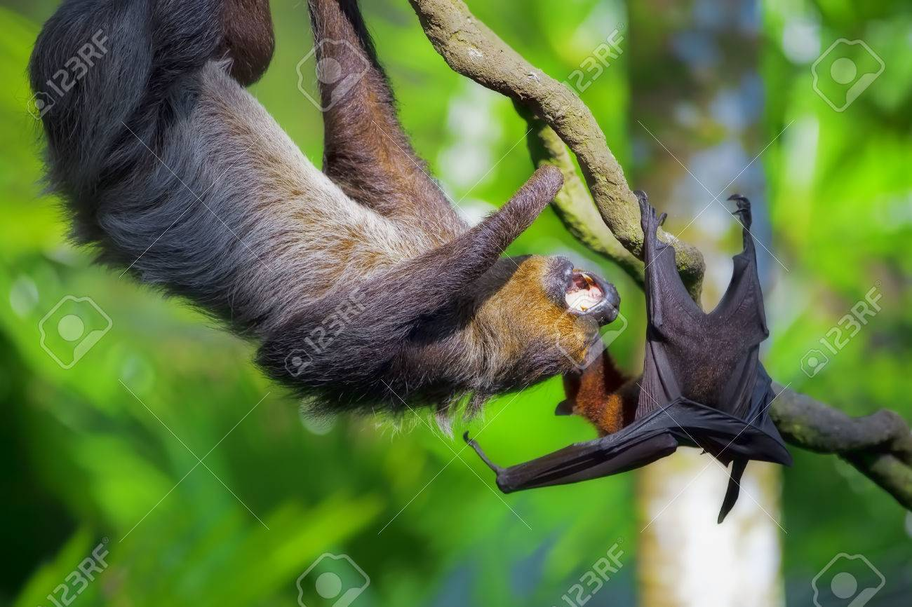 A Two Toed Sloth And Flying Fox In Manuel Antonio National Park