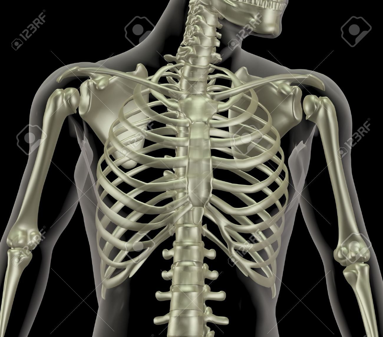 3D render of a skeleton showing close up of the rib cage Stock Photo - 7825439