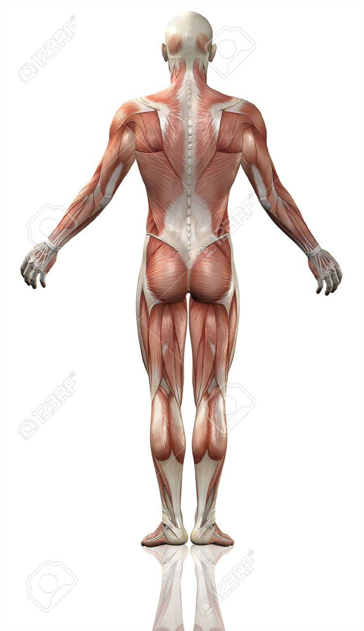 3d Render Of The Rear View Of A Medical Man With Detailed Muscle