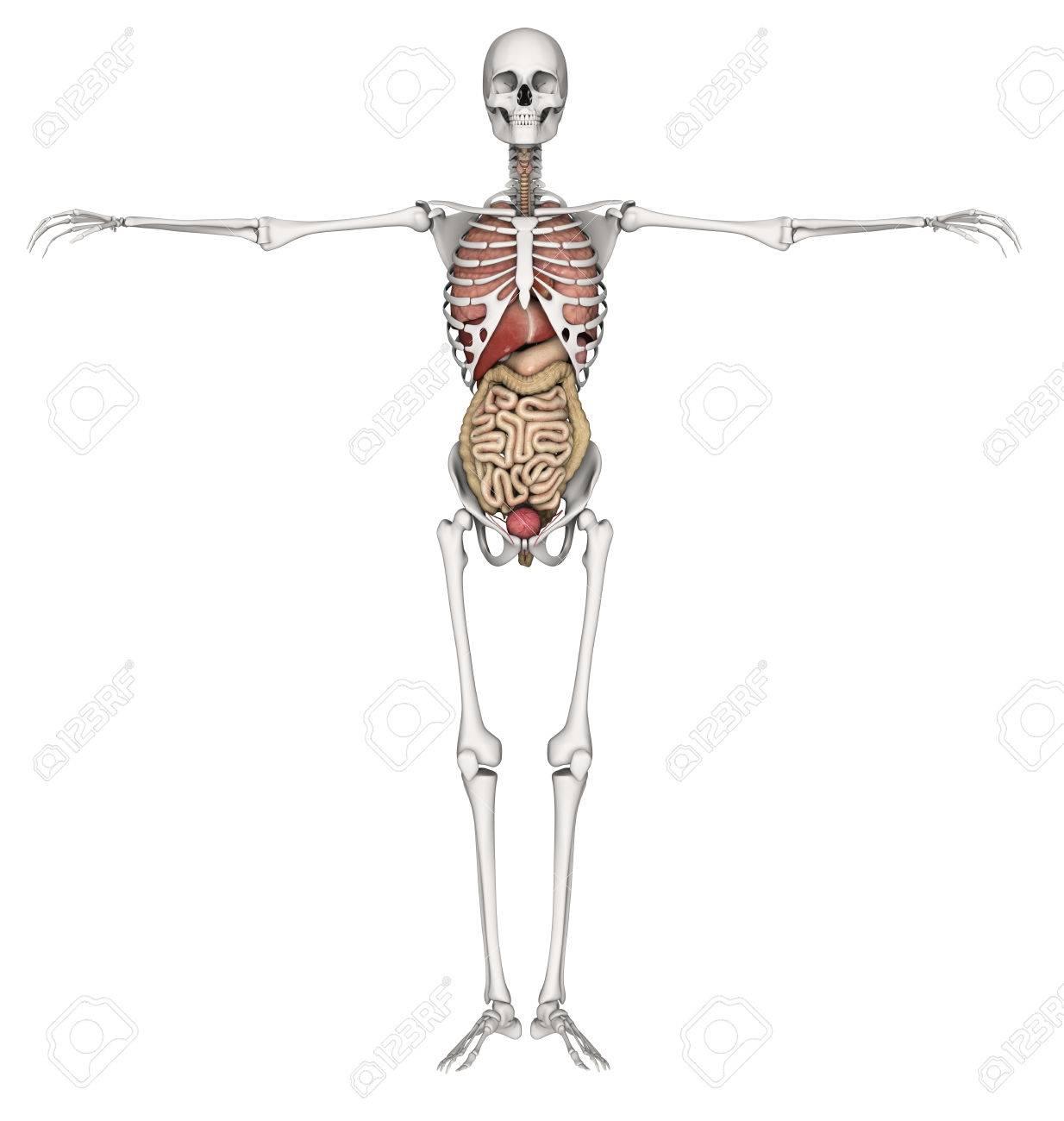 Berühmt Fotos Der Inneren Organe Zeitgenössisch - Anatomie Ideen ...