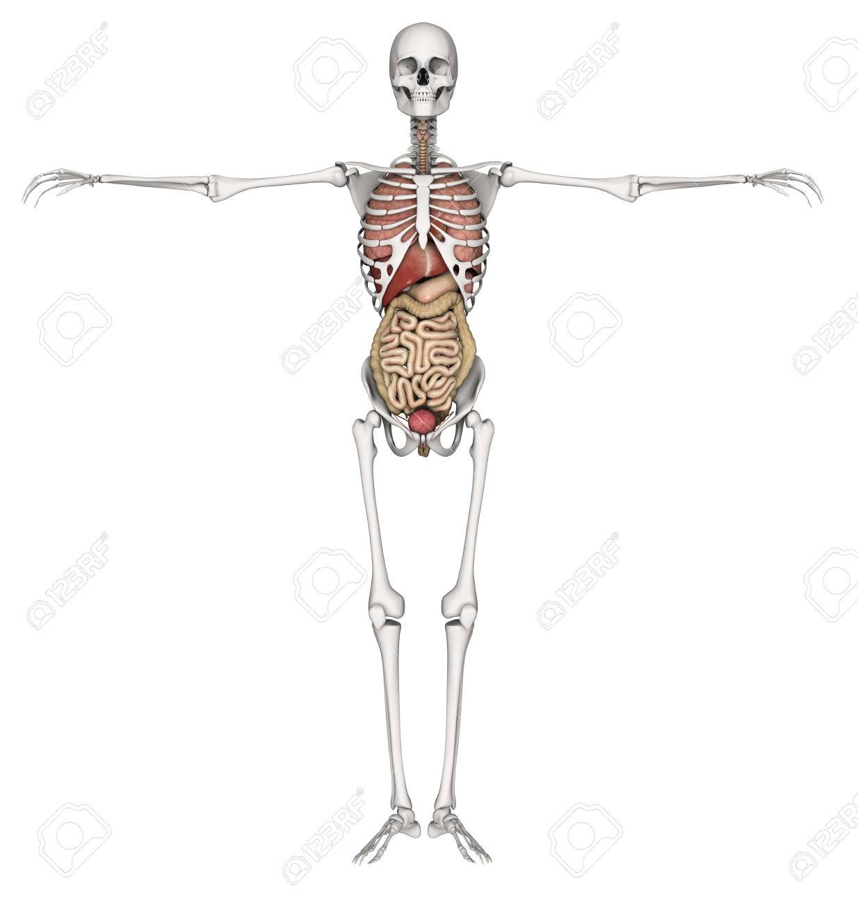 3D Render Of A Skeleton With Internal Organs Exposed Stock Photo ...