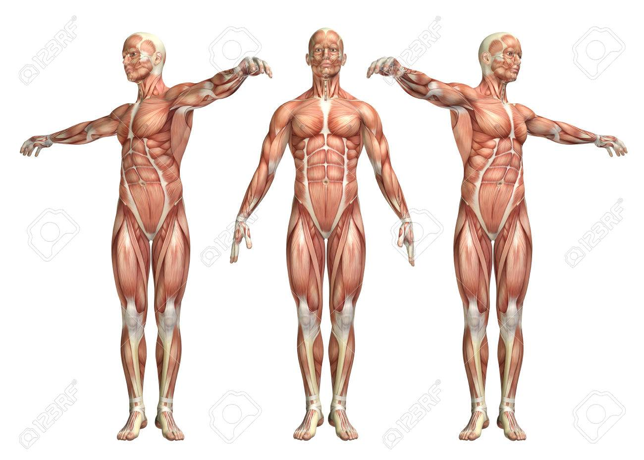3D Render Of A Medical Figure Showing Trunk Rotation Stock Photo ...