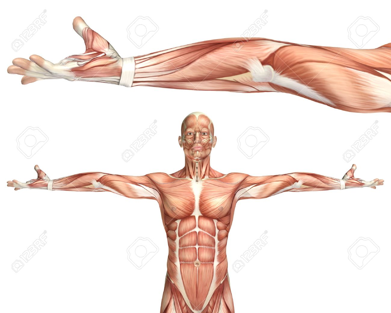 3D Render Of A Medical Figure Showing Elbow Supination Stock Photo ...