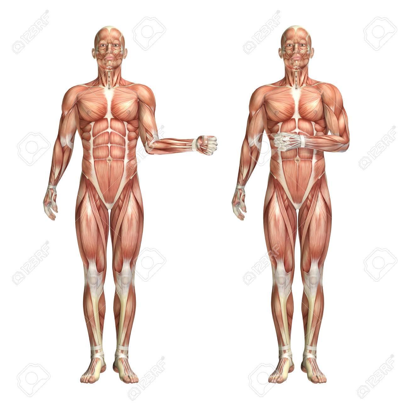 3D Render Of A Medical Figure Showing Shoulder External And Internal ...