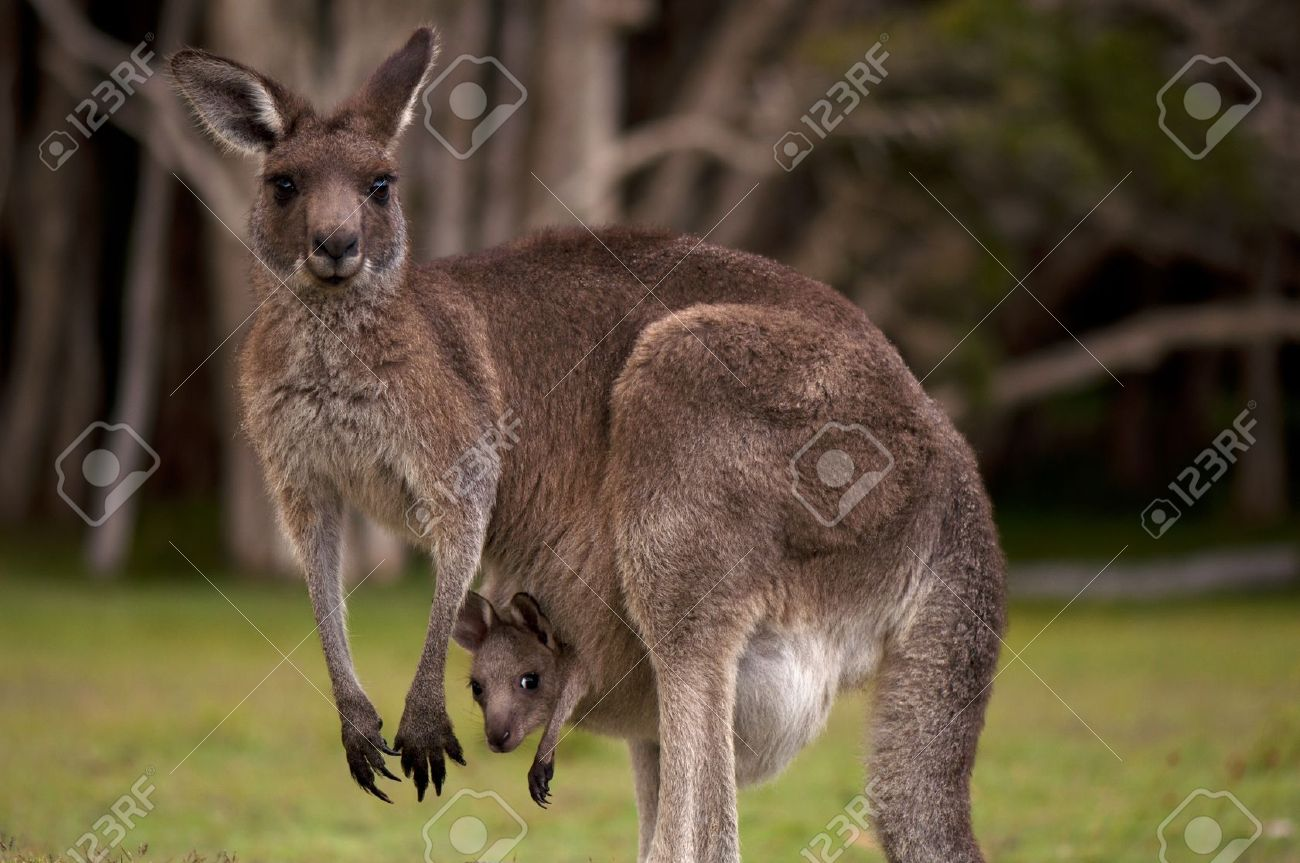 Сколько у кенгуру вагин 15 фотография