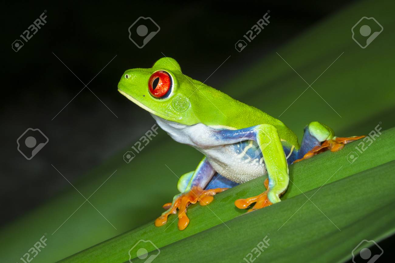 A red eyed treefrog (Agalychnis callidryas) on a leaf at night in Tortuguero National Park, Costa Rica. - 93550788