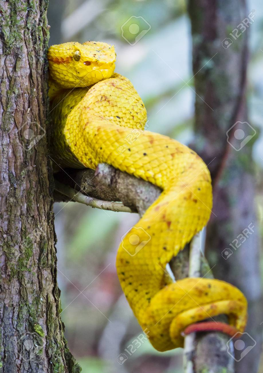 An Eyelash Viper Bothriechis Schlegelii Rests On A Tree Branch