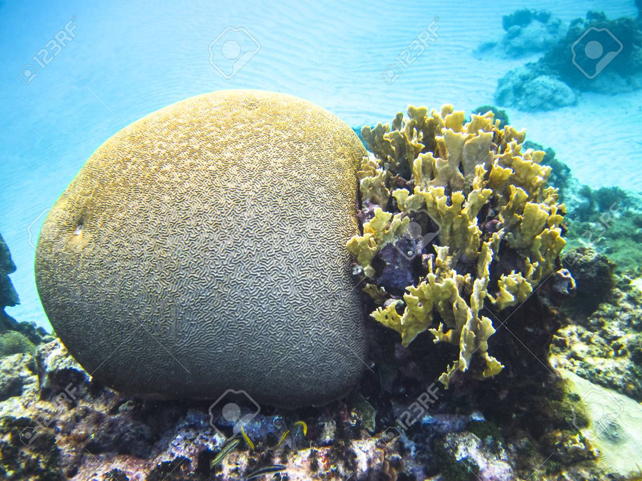 Different types of coral including brain coral family mussidae different types of coral including brain coral family mussidae or merulinidae in the publicscrutiny Images