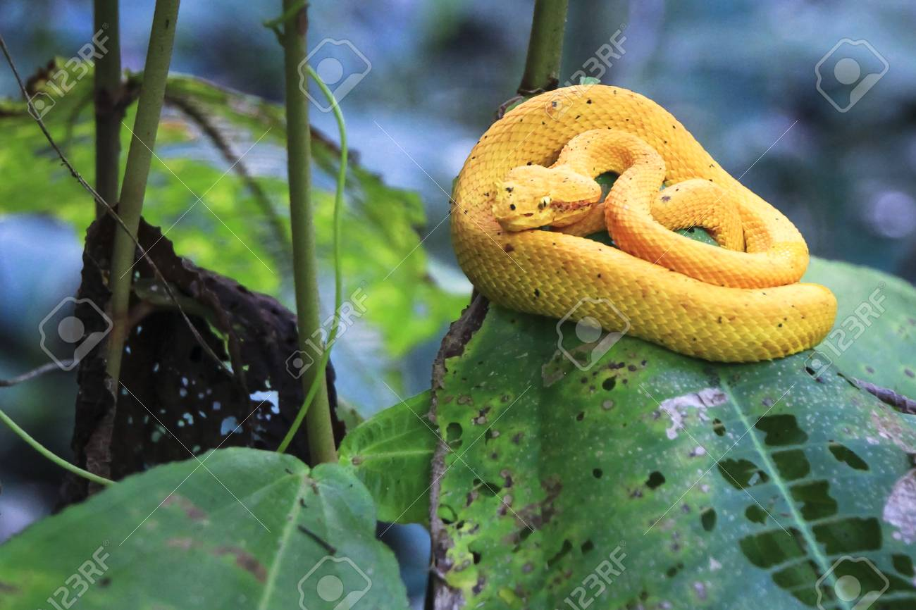 An Eyelash Viper Bothriechis Schlegelii Rests On A Leaf In Stock